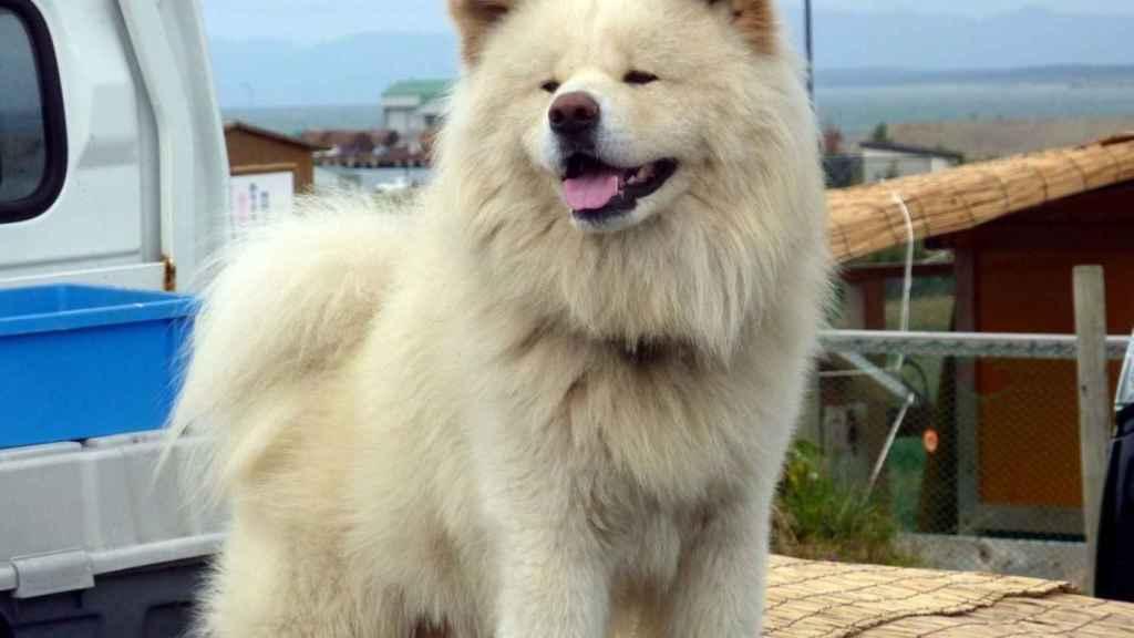 Un Akita Inu blanco.