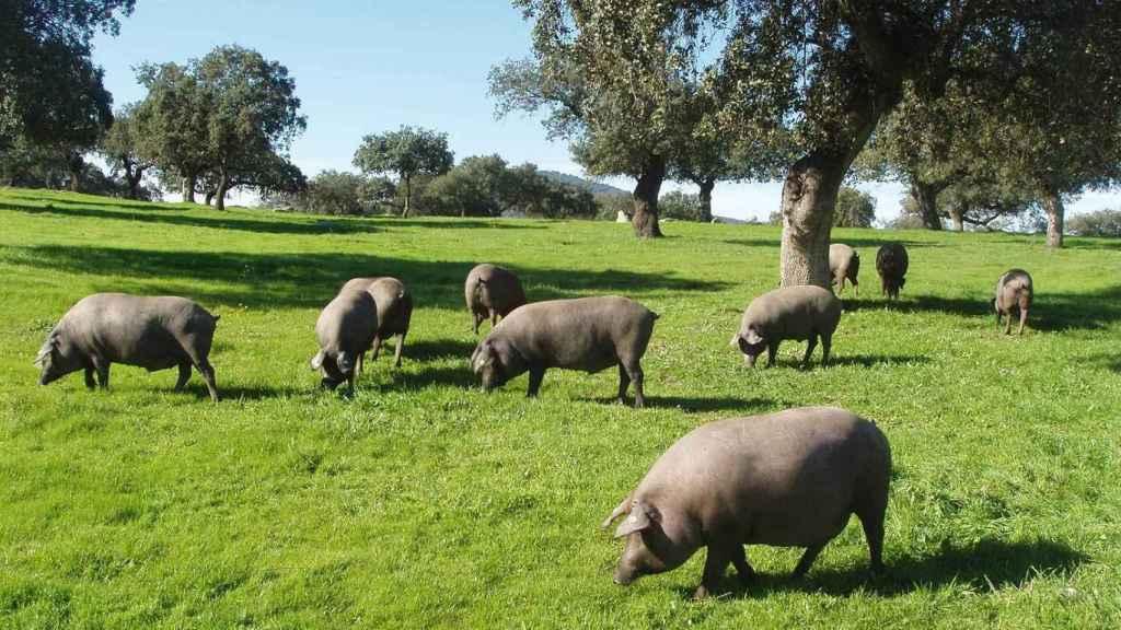 Un puñado de cerdos ibéricos pastando por la dehesa.
