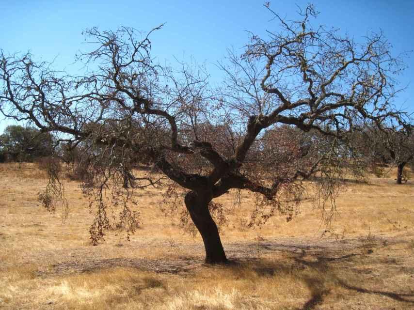 Una encina afectada por la seca en la comarca del Andévalo (Huelva).