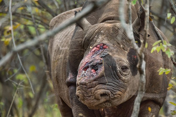 rinoceronte herido cuerno