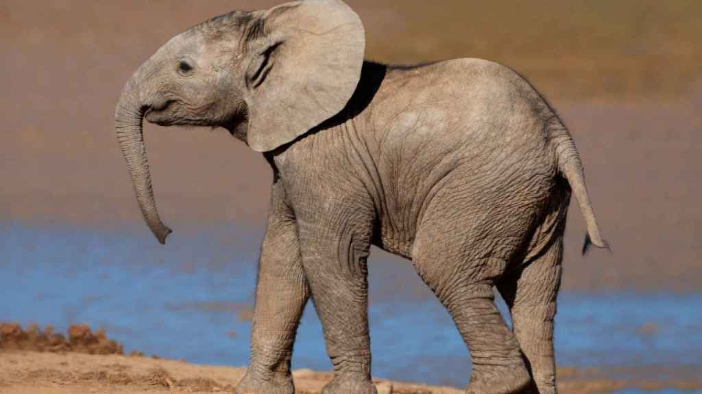 Un elefante africano jovencito.