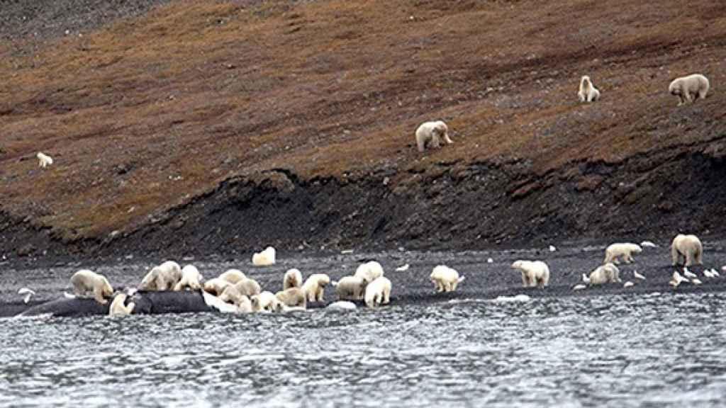 Los osos sobre el cadáver de la ballena.