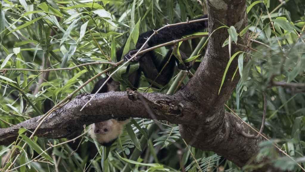 La flora y la fauna, entre la que se encuentra el mono Capuchino, abunda en el curso del río Tempiche