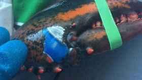 La peculiar langosta capturada en el mar.