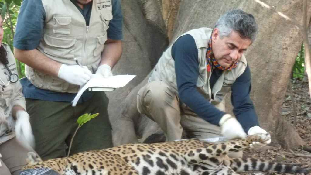 Gerardo Ceballos trabaja sobre un espécimen de jaguar capturado.