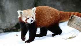 El panda rojo o panda menor (Ailurus fulgens).