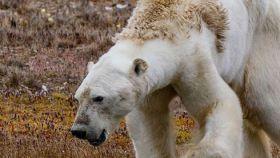 Oso polar desnutrido.
