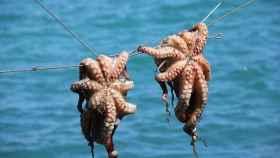 Buena parte del pulpo que se vende como gallego procede de Marruecos.