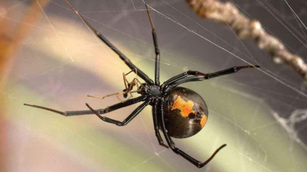 Un macho y una joven hembra (de mayor tamaño) de Latrodectus hasselti durante el coito.