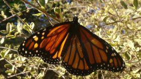 La mariposa volvió a volar después de un día de recuperación