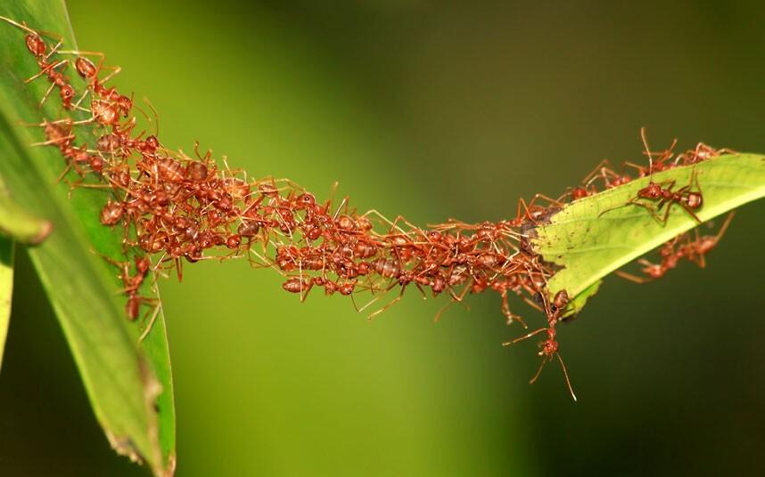 esfuerzo colectivo hormigas