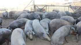 granja porcino cerdos animales 1