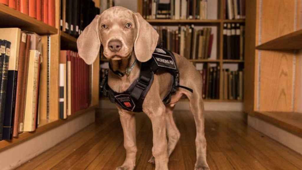 Riley, la perrita que salvará a un museo de Boston de las plagas de insectos