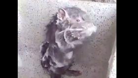 Esta rata duchándose es la nueva heroína de Internet