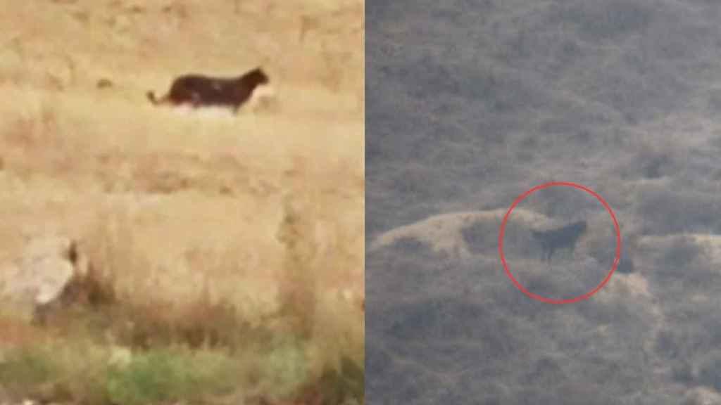 A la imagen, la supuesta pantera de Guadalajara; a la derecha, la imagen del Seprona.