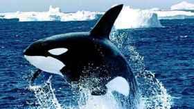 Una orca.