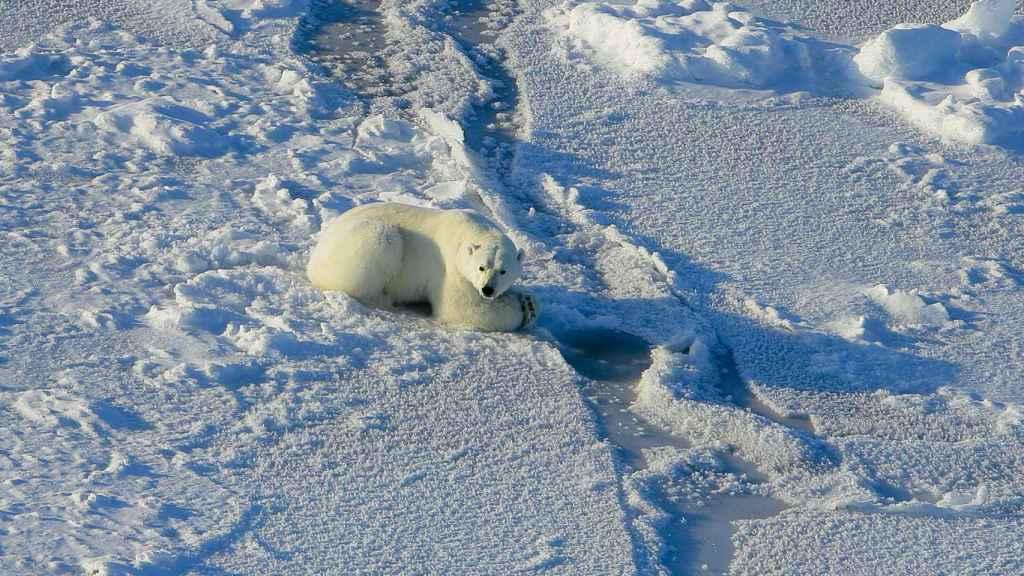 Una osa polar intentando cazar en el mar de Beaufort.