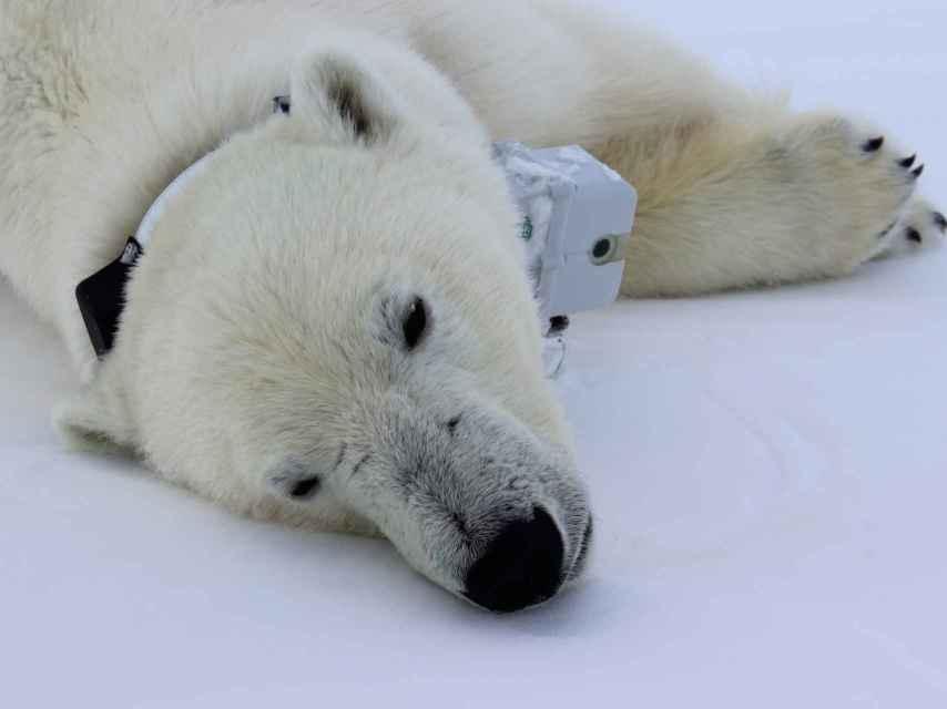 La población de osos polares se ha reducido un 30% en los últimos 45 años.