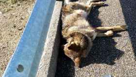 zamora lobo muerto a52 ep