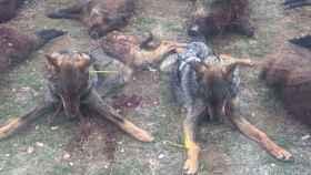 Valladolid-lobos-abatidos-tiro-envenenamiento