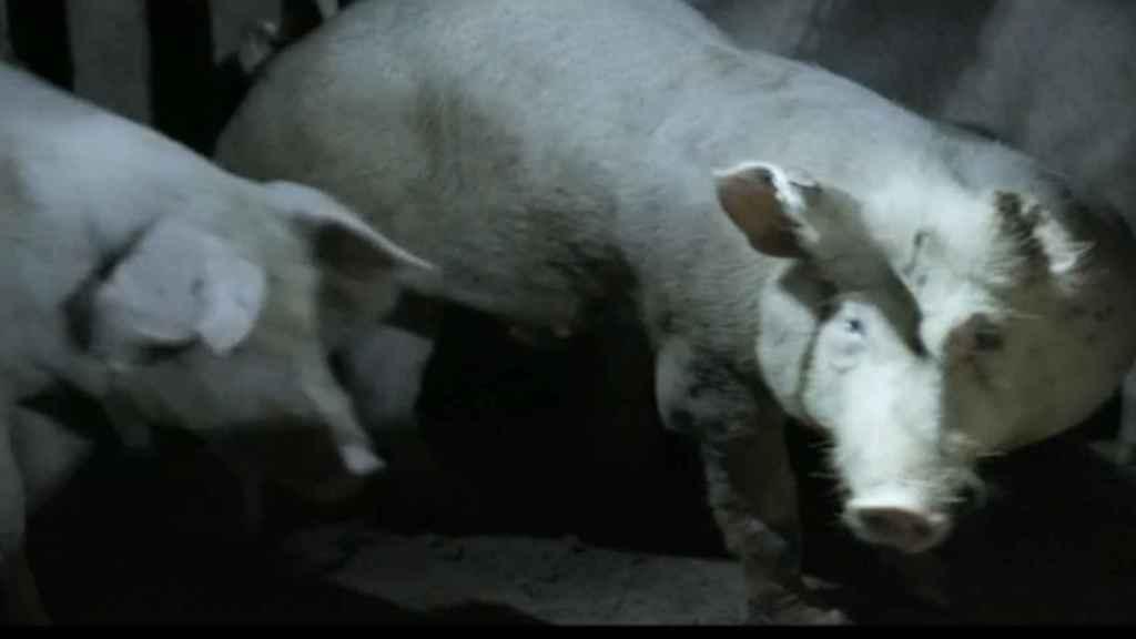Salvados se coló en el área de recuperación de una granja junto a la ONG Igualdad Animal.