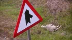 La oveja también resultó muerta en el accidente.