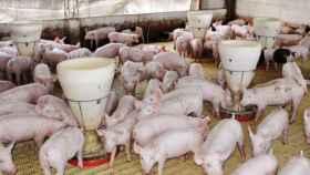 cerdos sector porcino