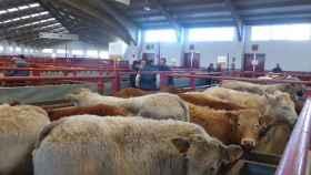 ganado-vacuno-mercado-salamanca