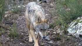 zamora-centro-lobo