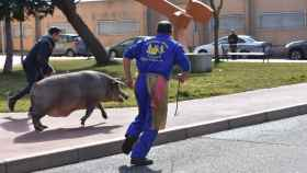 matanza guijuelo cerdo