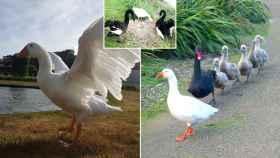 Thomas junto al cisne Henry, Henrietta y los polluelos que la pareja tuvo.