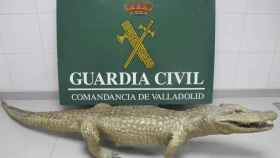 Valladolid-caiman-naturalizado-guardia-civil