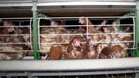 La tortura de las gallinas enjauladas que ponen los huevos que comemos y Francia quiere prohibir