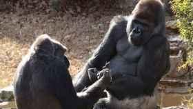 Dos de los gorilas que se emparejaron con el  Tinder animal.