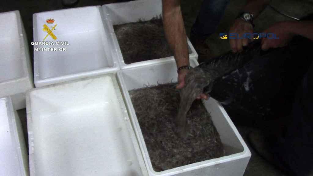 Las anguilas son transportadas en bolsas facturadas o en el equipaje de mano de las mulas.