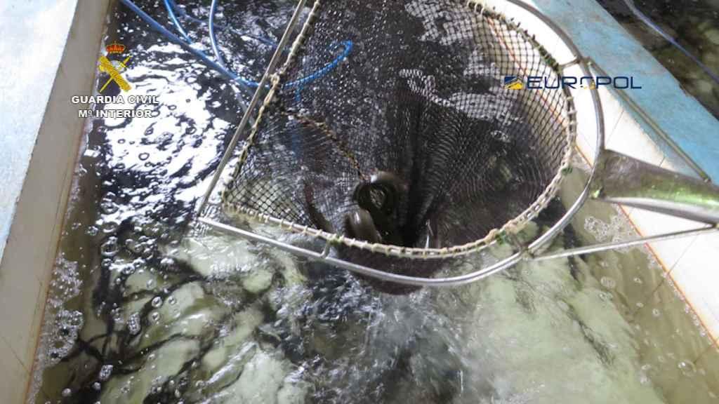 La carne de anguila es considerada un manjar en el mercado chino.