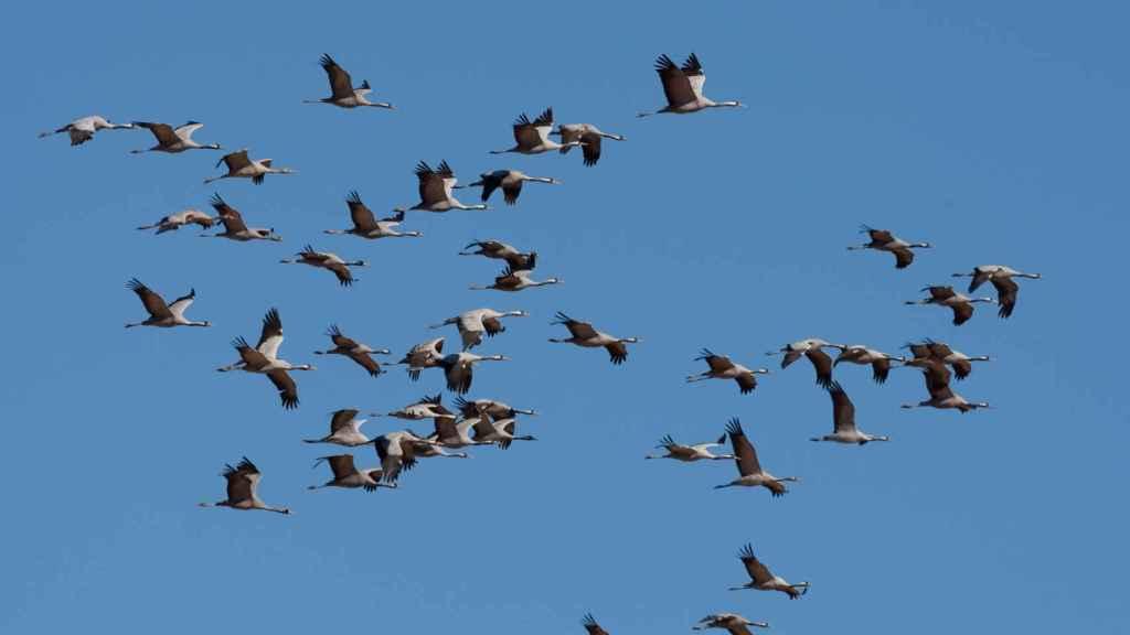 Las grullas (Grus grus) migran ahora al centro y al norte de Europa.