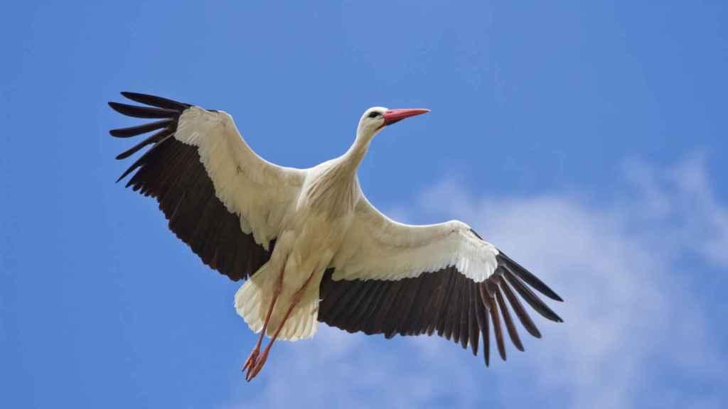 Las cigüeñas blancas (Ciconia ciconia) de algunas zonas se han vuelto sedentarias porque comen de los vertederos