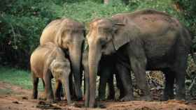 Una familia de elefantes asiáticos
