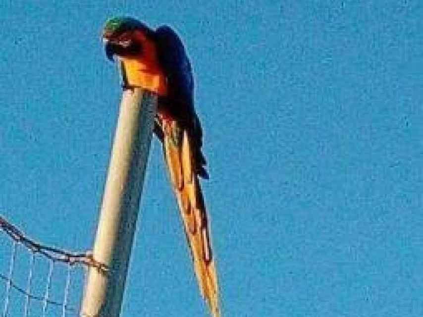 El loro gigante futbolero que está en busca y captura en Santa Gertrudis.