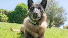 Elton, el perro 'guardia civil'  que busca a Gabriel y que encontró a Diana Quer.