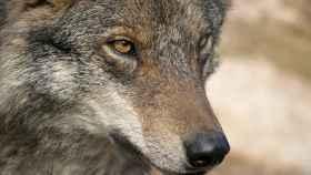 cupos de caza lobo