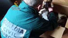 zamora guardia civil cachorros mastin