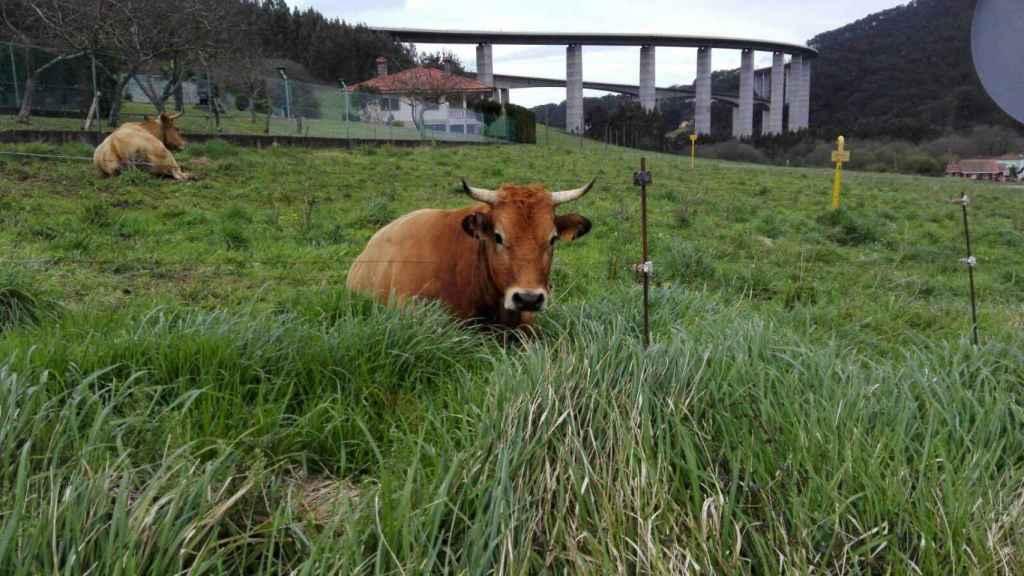 Una vaca pasta al lado del viaducto en el que más suicidios se registran en Toda Asturias