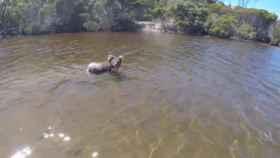koala bañandose