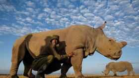 Fotografía de archivo del último rinoceronte blanco, Sudán