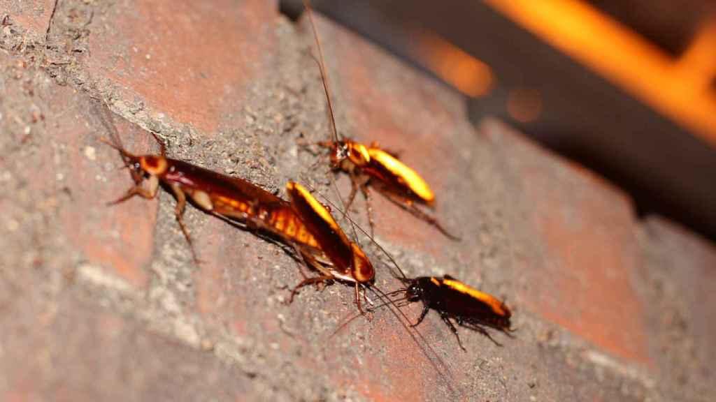 Las cucarachas se mueven de noche porque prefieren la oscuridad. / Sigurd Tao Lyngse.