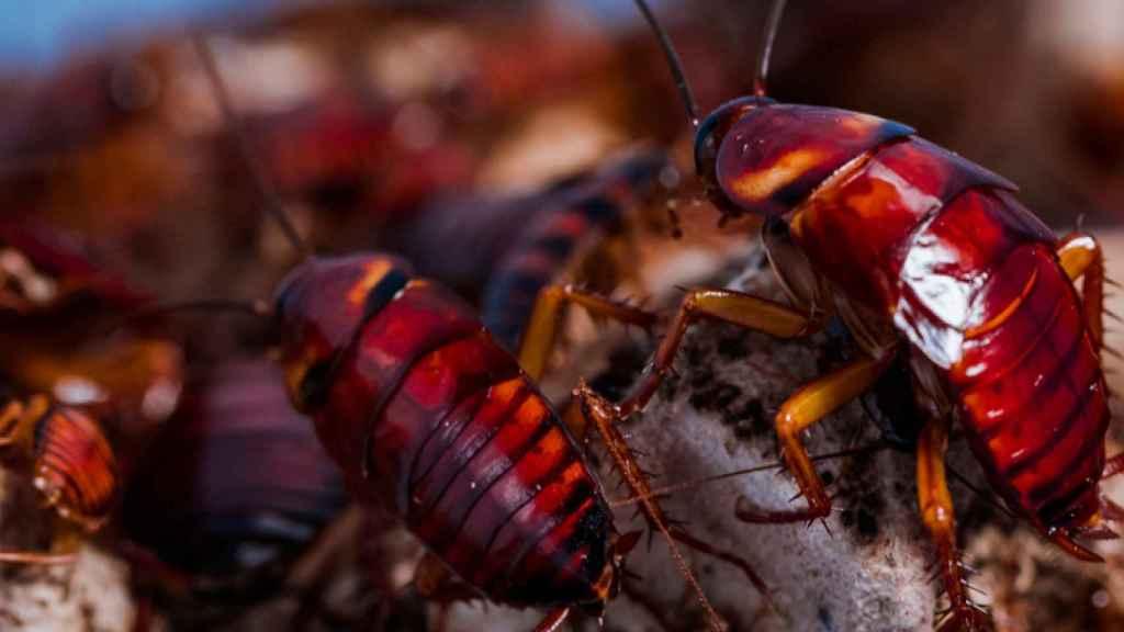 La cucaracha americana es de un color rojizo y puede llegar a medir hasta 40 milímetros. / Sheng Li.