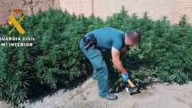 marihuana burgos