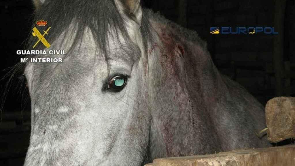 Los caballos de la operación Gazel se encontraban en un estado lamentable.